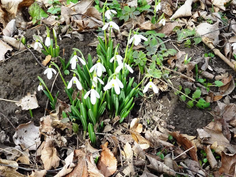 Hóvirágok a kerteben