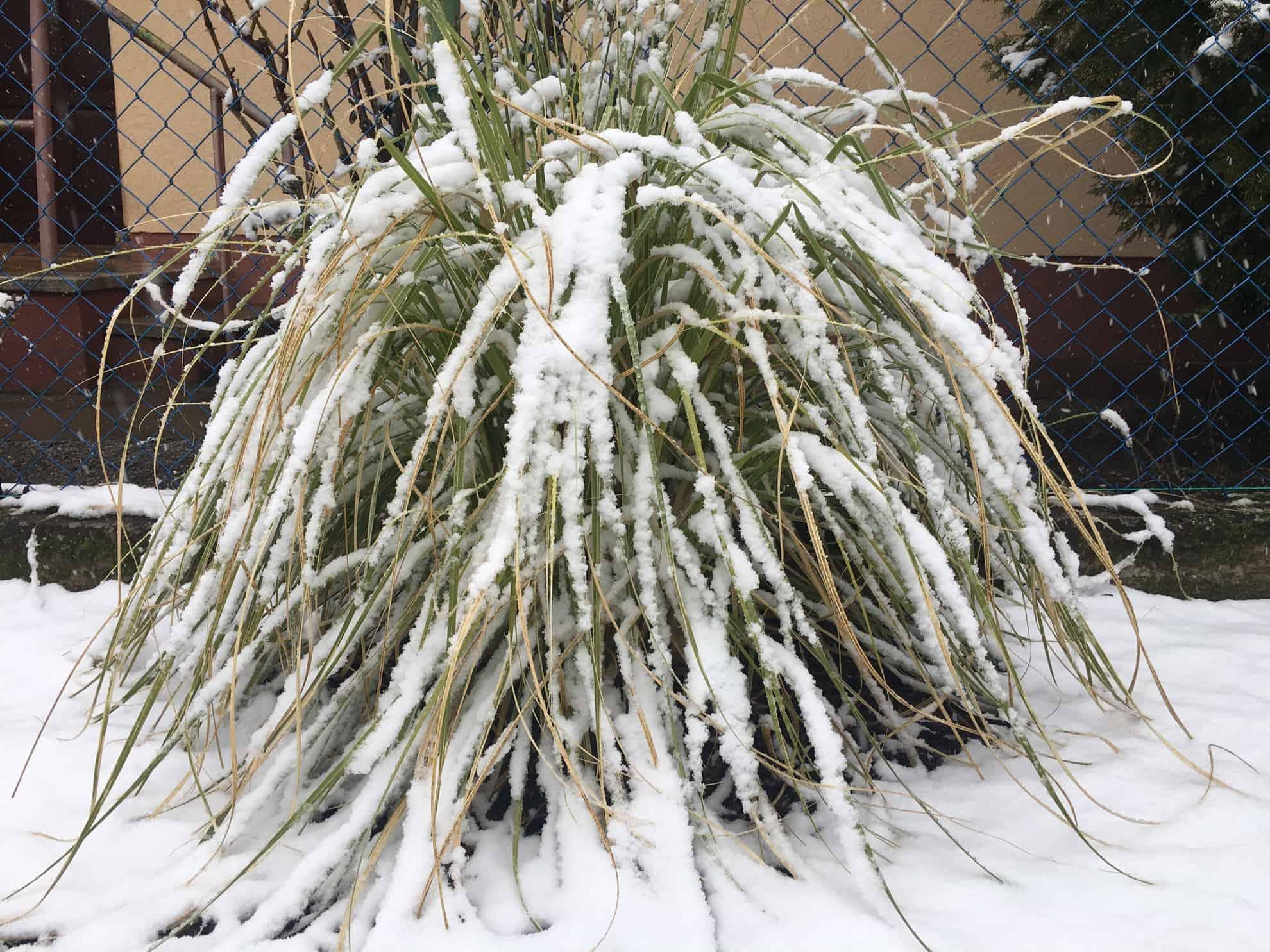 hóval borított pampafű